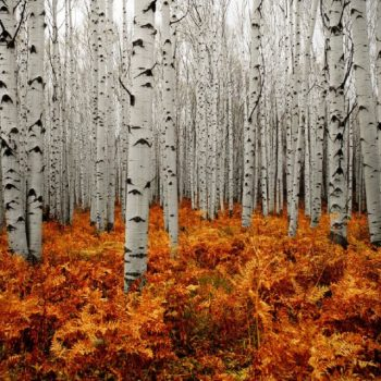 Stunning Silver Birch